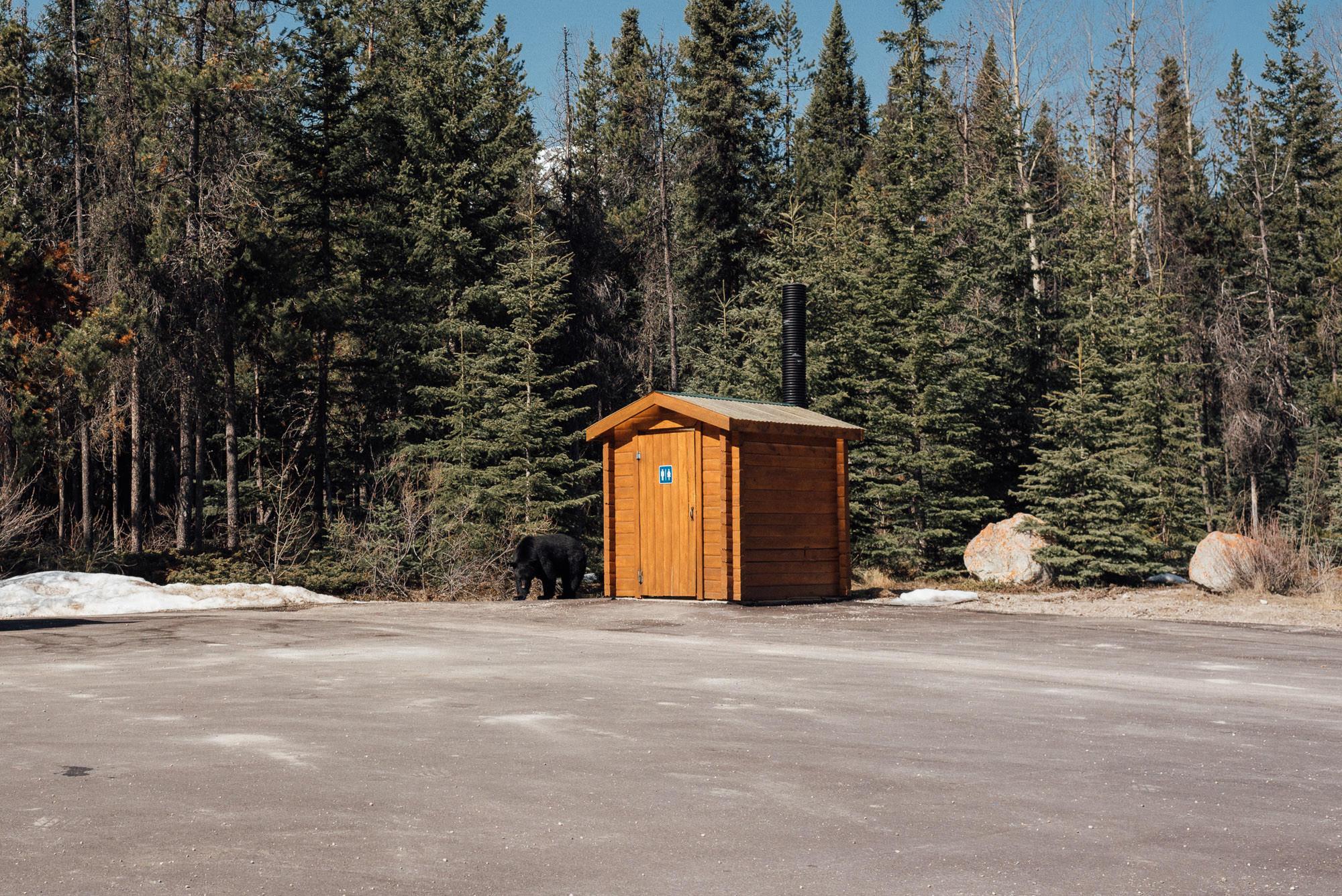 Niedźwiedź w okolicach Jasper