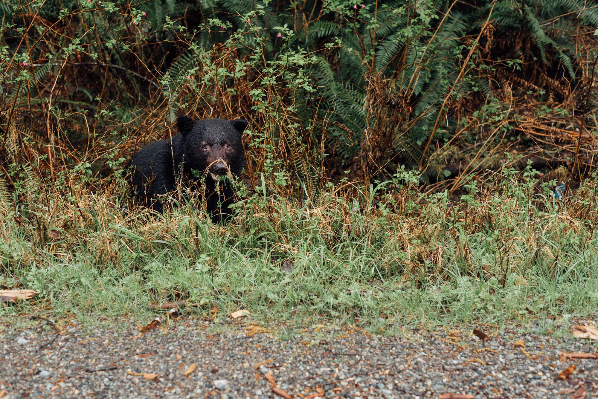 Niedźwiedź czarny na wyspie Vancouver